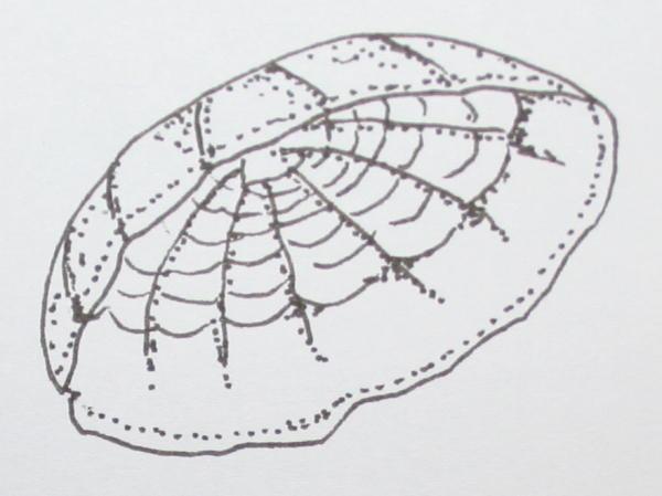 proterozoico cyclomedusa 10