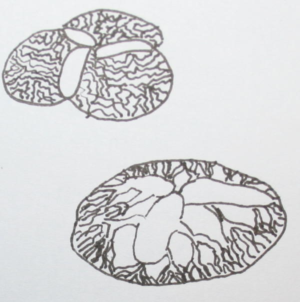 proterozoico tribrachidio 11