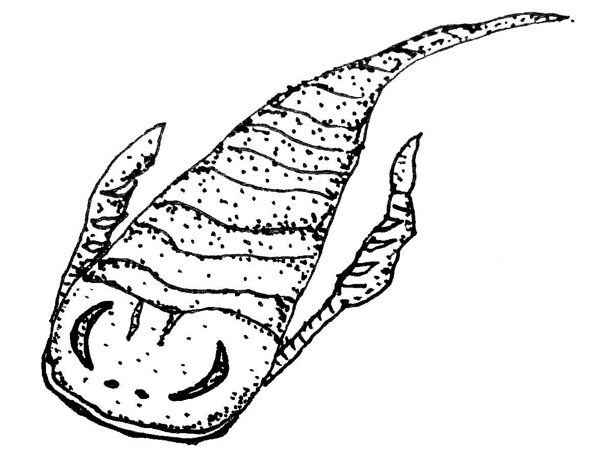 scorpione di mare 55