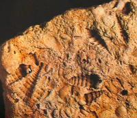 calcare fossilifero 239