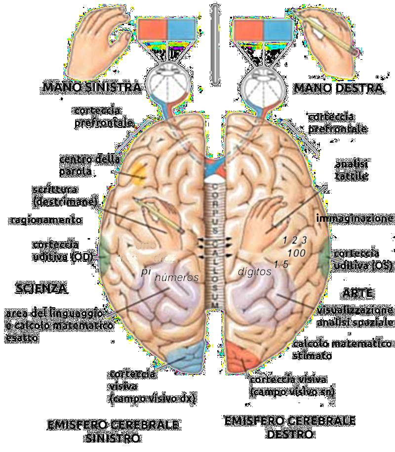 areas-cerebrales