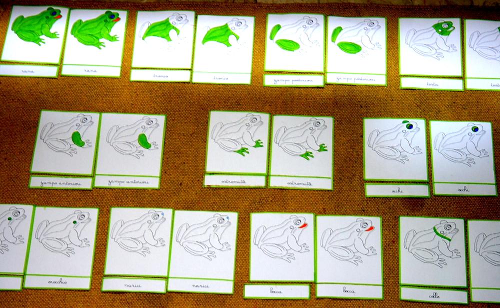 Nomenclature Montessori per le parti della rana