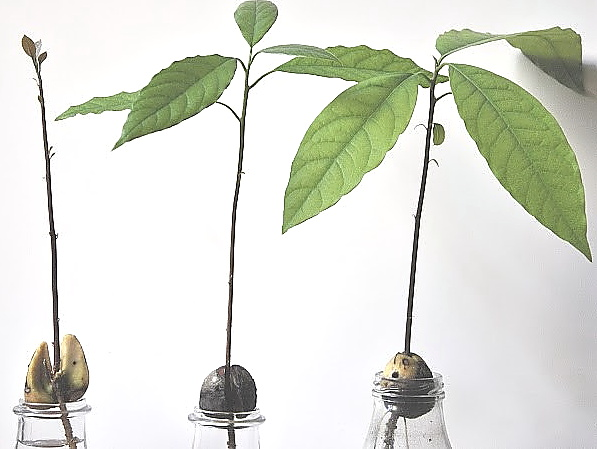 Esperimento scientifico: il seme di avocado