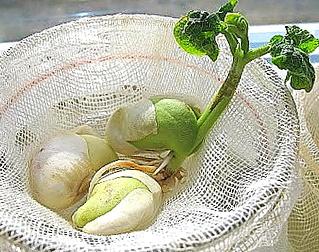 Esperimento scientifico: legumi in crescita giorno per giorno
